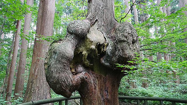 数えきれないほどある杉の中で、一本だけ大きいコブを持つ。心臓のようにも見えて怖い。そして神秘的。