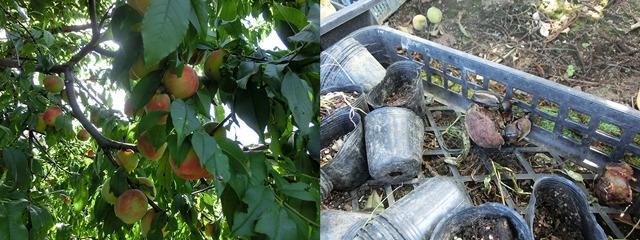 桃まである。落ちた桃にはカブトムシが群がっていた