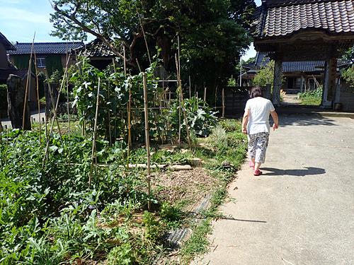 家の近くでやっている家庭菜園の畑に、山ほど生えているらしい。