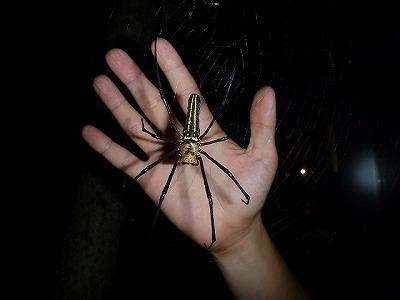 網を張るクモの中では日本最大になるオオジョロウグモ。日本で最も強力な糸を紡ぐクモでもある…と思う。なお、雄はずっと小さい上に体色も異なり、別種のような姿。