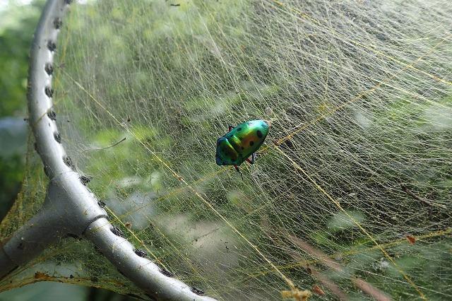 クモの網なので、飛んでいる虫だって当然採れる。これはナナホシキンカメムシというタマムシ並に綺麗なカメムシ。