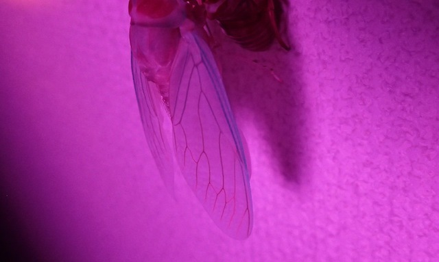 白い羽もライティングで一層妖艶さを増す。