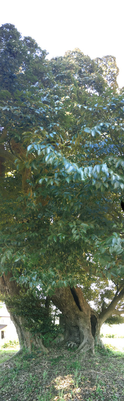 iPhoneのパノラマでタテに撮影した巨樹。