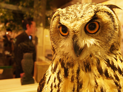 A spotted-eagle owl scopes out his visitors