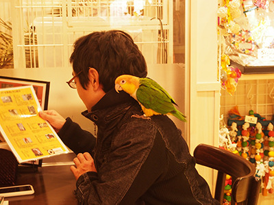 Warm welcome #2 : A caique sits on your shoulder.