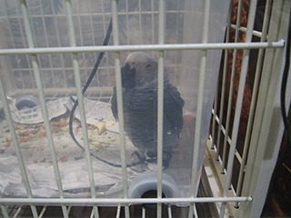 The trending adorably ugly African Gray. It's actually a baby, although it looks pretty old.
