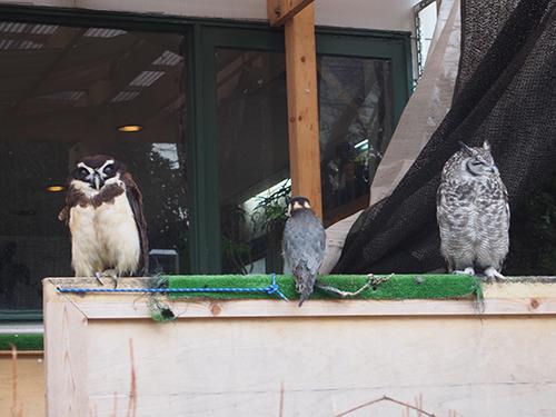 Open-air owls.