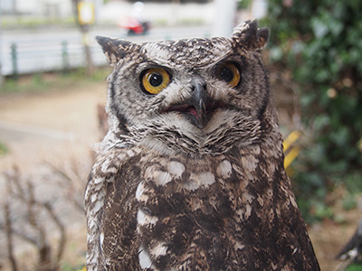A Spotted-Eagle Owl who looks dumbfounded.