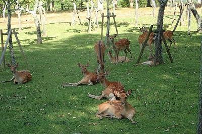 この日の気温は30℃を上回った。鹿たちも日陰から出ようとしない。