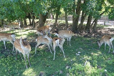 徹底的に日向を避ける鹿たち。活動したくないのは人も鹿も虫も同じだ。