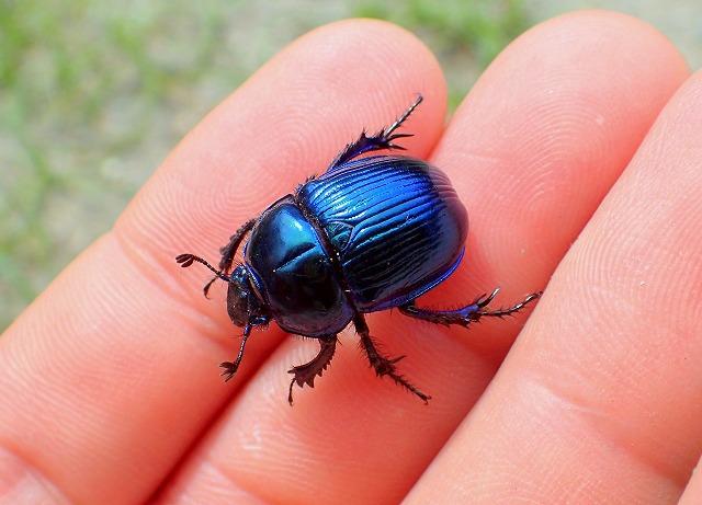 ついに見つけた青型のオオセンチコガネ。手の上を力強く、元気に歩き回る。かわいい。