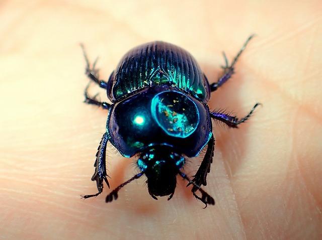 この金属光沢!同一ポイントでも藍色のものから緑がかった個体まで、意外とカラーバリエーションが豊富。