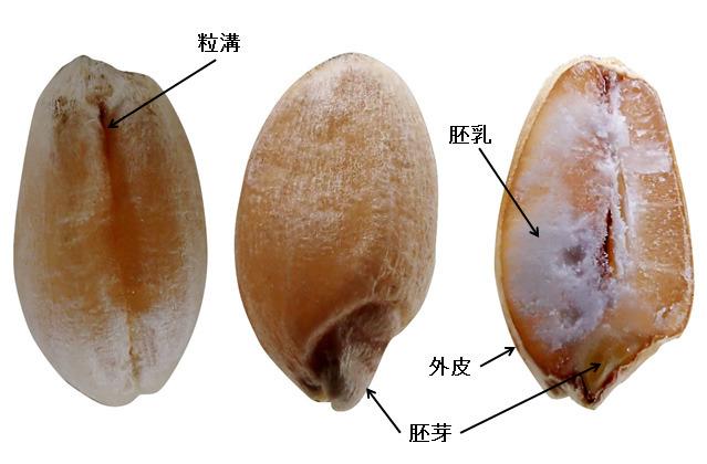 がんばって撮影した小麦。砕いてふるった胚乳が小麦粉、残りの外皮や胚芽がふすま(ブラン)。
