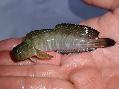 こちらもカエルウオ系だが上のものとは別種。ヨダレカケを含めて4種の魚が獲れた(いずれもギンポの仲間)。