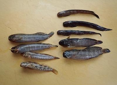 まな板の上のヨダレカケ(右上の三尾)。と、その他潮間帯魚類アソート。こうして並べてみると、ヨダレカケはかなり細身で特徴的な身体つきをしていることが分かる。