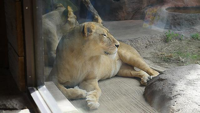 ライオンのメスと、
