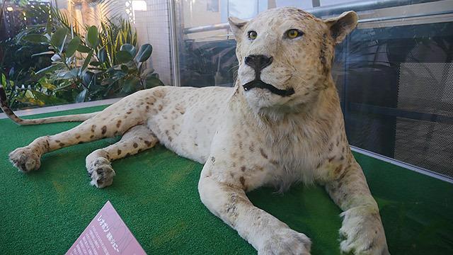 ヒョウとライオン、両方のカッコよさを持っている!