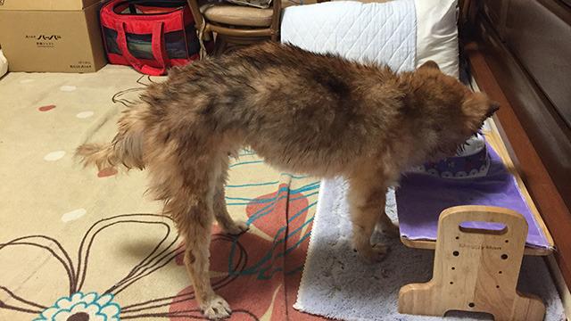 風呂上がりの犬