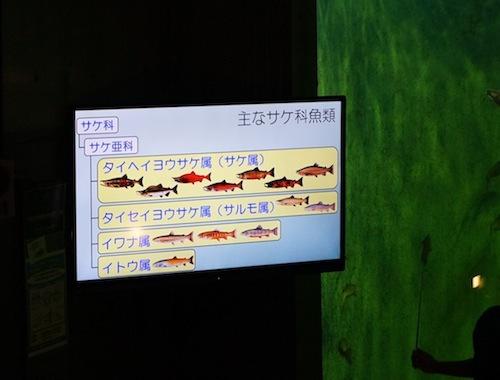 「世界にサケ科の魚は66種類いまーす」
