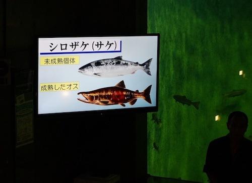 「みんながよく知っている鮭はシロザケといいます。北海道では秋味(アキアジ)とも呼ばれています」