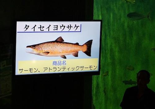 「回転寿司やスーパーではチリやノルウェーで養殖されたサケが多くでまわっていまーす」
