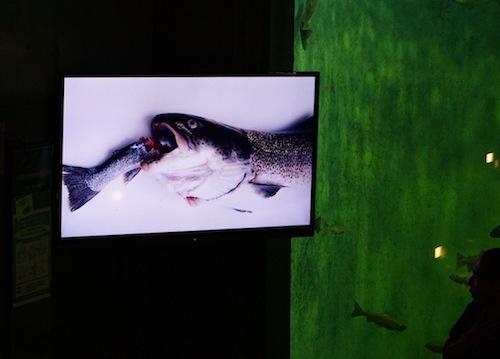 「イトウはこの水族館でも飼育していますがとにかく食いしん坊です。魚を飲み込んだまま窒息して死んじゃったイトウもいましたー」
