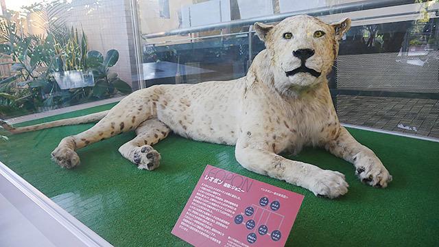 ライオンとヒョウのあいのこレオポン。飛べない鳥キウイ。この記事、タイトルを「なにわ珍獣道」にしなよとアドバイスしたけど無視されました。(安藤)