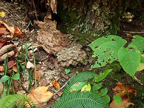 天然のマイタケは、その存在を知らないと食べ物とだと認識できない地味なお姿。