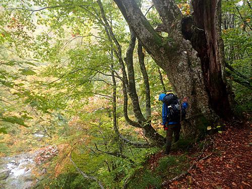 ミズナラの木は太ければ太いほど確率が高く、こういう立派な木の生えている場所をどれだけ知っているかが勝負となる。