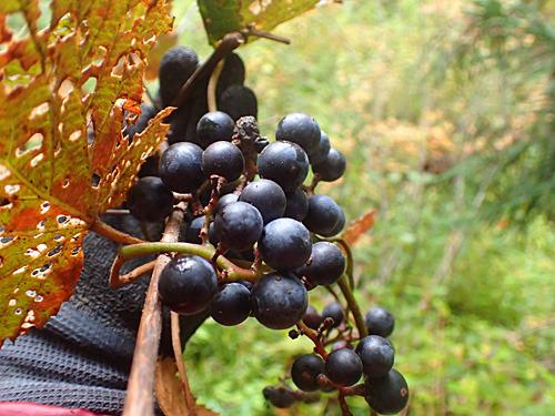 ヤマブドウというものをはじめて食べたかもしれない。ザ・野生の味。
