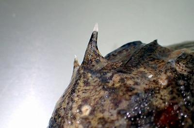 鰓蓋のトゲが長くてシャープ。