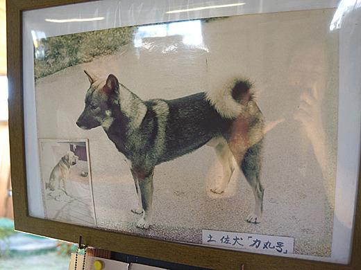 館内にあった写真。余談だがこれがもともとの土佐犬だという!闘犬とは全然違う・・・