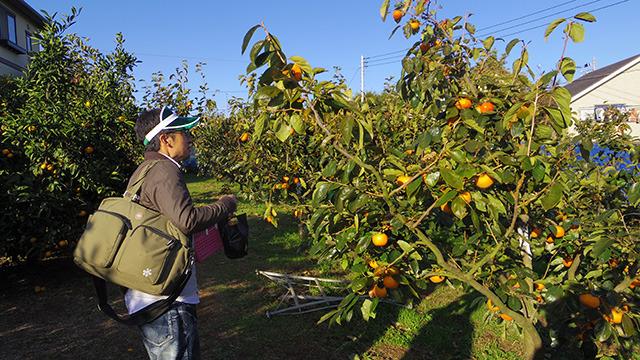 柿の木を発見