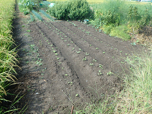 畝の左一列がザーサイ。