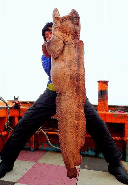 後日、ワケあって乗った別の船でも特大サイズが!こうして複数の個体を並べると、オオカミウオには褐色のものと黒っぽいものとがあることに気づく。雌雄の差だろうか。
