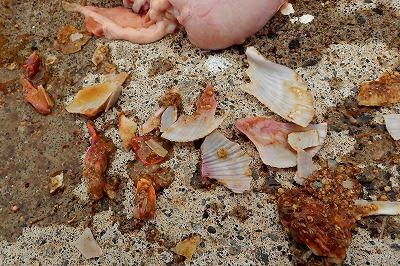 キープした個体の胃からはホタテの貝殻が大量に出てきた。貝を噛み砕いて食うというのは事実だった。つーか良いもん食ってんな。さすが神様。