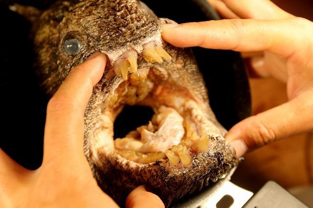 料理ついでに飴色の歯をじっくり観察。最前列の数本だけは先の鈍い犬歯のような形。