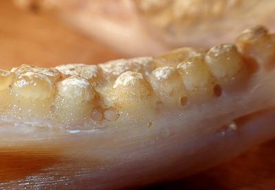 歯列の周辺には小さな孔がたくさん空いている。覗き込むと小さな歯が育ちつつあったのがわかる。こうやって次々に生え変わっているのか。