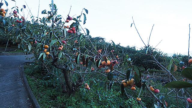 上に登るほど柿の木が増える。食べたいが渋柿だ。