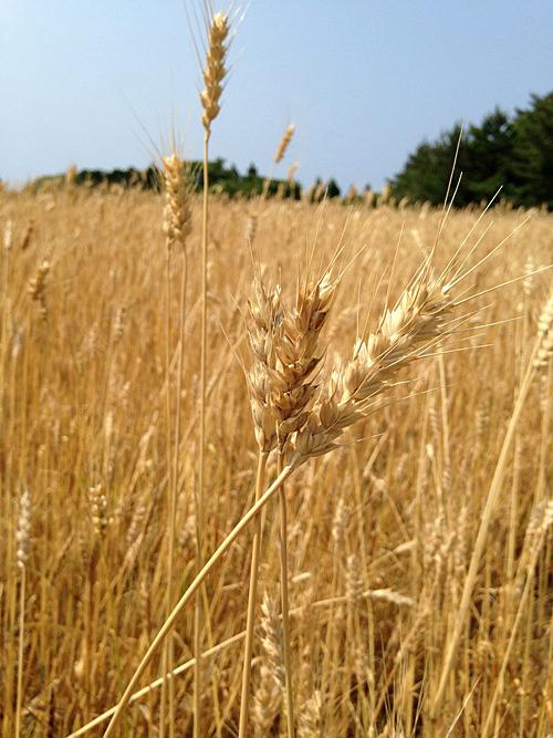 収穫時期の小麦(地域おこし協力隊のブログより)。約500キロの実がなったけれど、収穫前にスズメが100キロ食べてしまったとか。