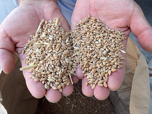 収穫した小麦。これを砕いてふるいにかけると小麦粉になる。