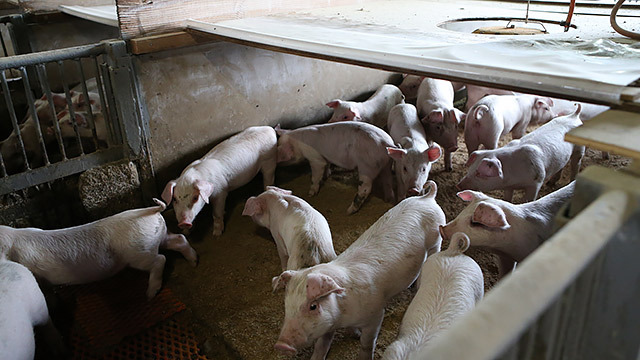 これがボティコンのいい豚!