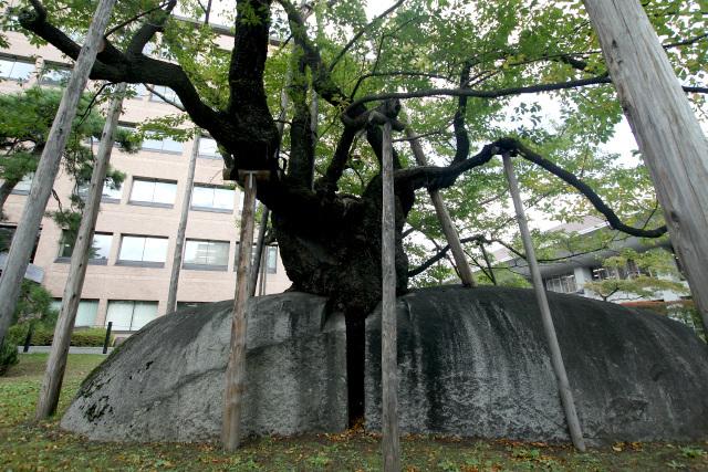 かつて盛岡藩の家老屋敷があった盛岡地方裁判所の敷地には、巨石を真っ二つに割って成長した石割桜があった。岩手県というだけあって、岩に関する見どころが多い