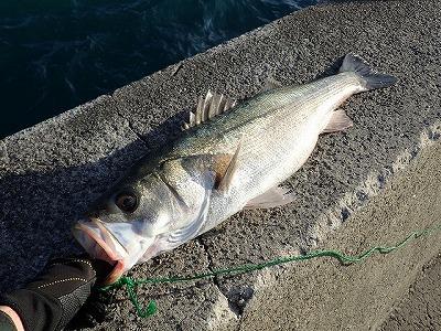 カスザメはスズキ釣りをしているとたまに釣れるらしい。ネットで勉強したスズキの釣り方を試してみると、本当に立派なスズキかいきなり釣れた。やった。いや、違う。