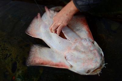 サメやエイを食べるには迅速な下処理が大切。すぐに潮だまりで血とワタを抜く。血も体表のぬめりも、不思議と全くサメ臭くない(アンモニア臭がしない)。