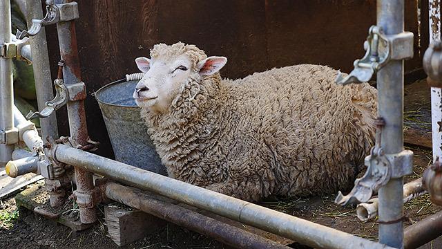 これはコリデール(めん羊種)で、