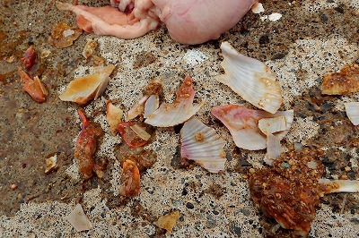 We ended up finding a lot of scallop shells from the stomach of the wolffish we kept. The story about them chomping down on whole shells was true. Damn, they eat good stuff. Very god-like.