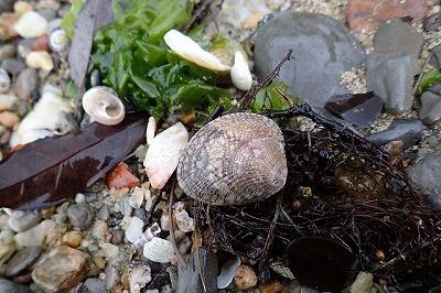 普通の貝は目に入るが…