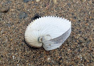 口が異様に広い、巻き方が浅い、透けるほど薄いなど、普通の貝には無い特徴が見られる。