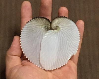 二つの貝殻を合わせるとアオイの葉のような形になるところからきている。